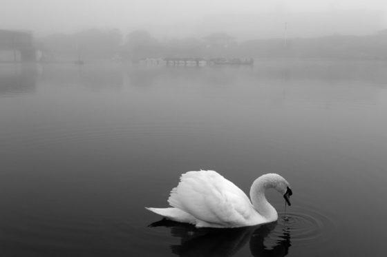 Lytham Swan Photography Print