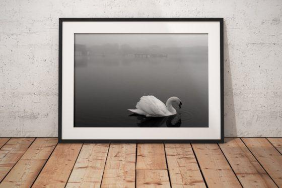 Lytham Swan Photography Print In Black Frame