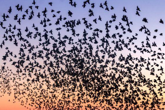 Blackpool Starlings Murmuration Photography Print