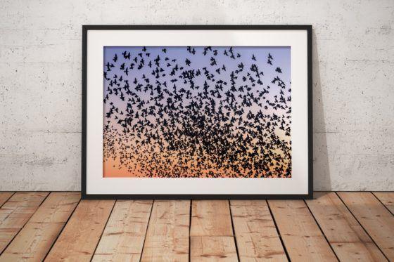 Blackpool Starlings Murmuration Photography Print In Black Frame