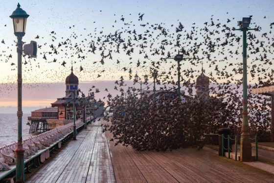 Blackpool Starlings Photography Print