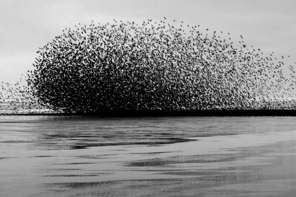 Murmuration of Starlings - New Photography 2021 By Yannick Dixon