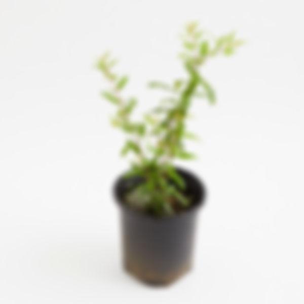 Planta frutal: granada