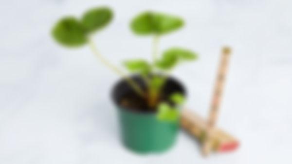 Planta huerto: Fresa 🍓