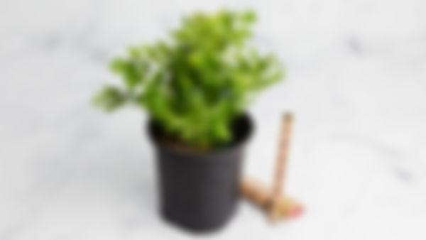 """Planta huerto: apio o """"celery"""""""