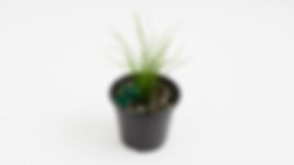 Planta huerto: cebollín de ajo