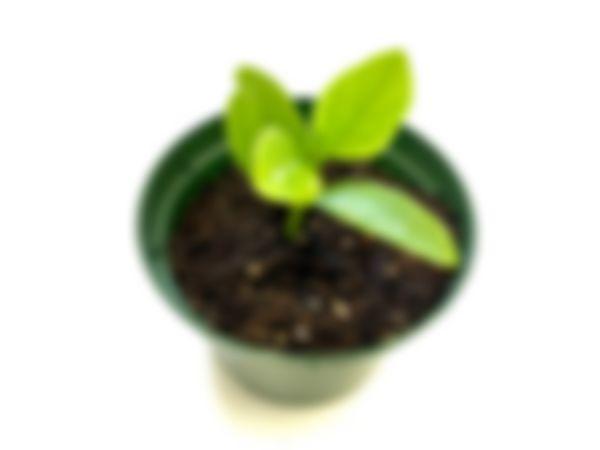 Planta huerto: Espinaca malabar