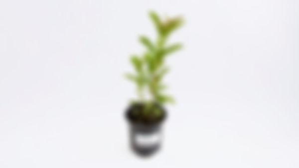Planta frutal: guayaba