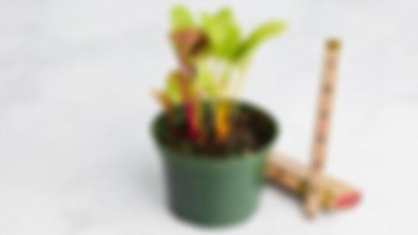 Planta huerto: acelga