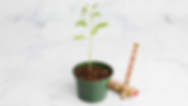 Planta huerto: Salvia