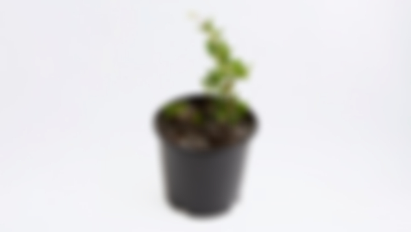 Planta frutal: acerola
