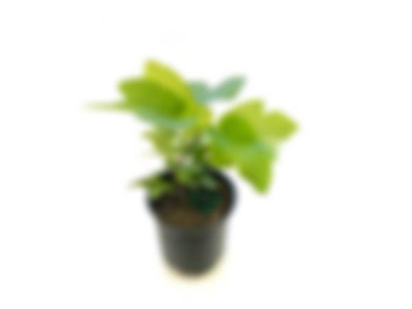 Árbol frutal: higo