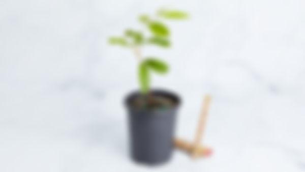 Planta Huerto: Rambutan