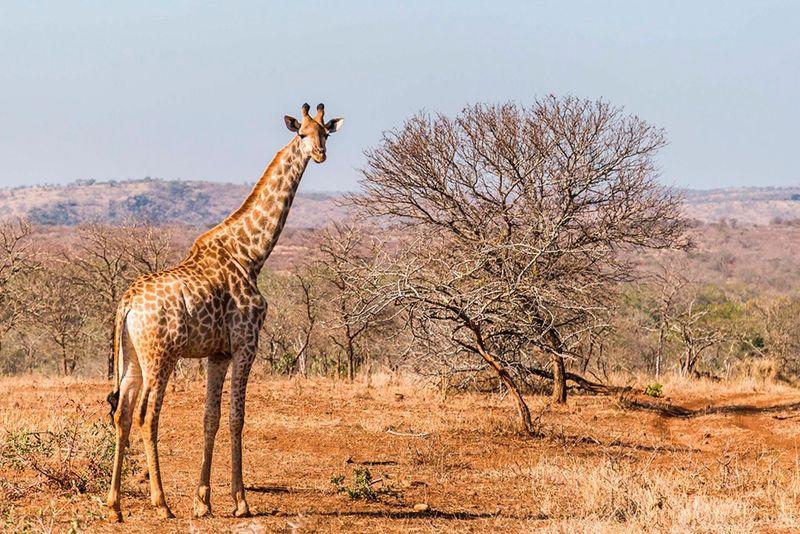 ekskursionnyy_tur_safari_yuar_otdykh_v_san_siti_safari_v_pilanesberge_i_velikolepie_keyptauna