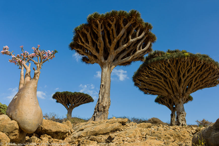 02 Socotra Dragon 2014