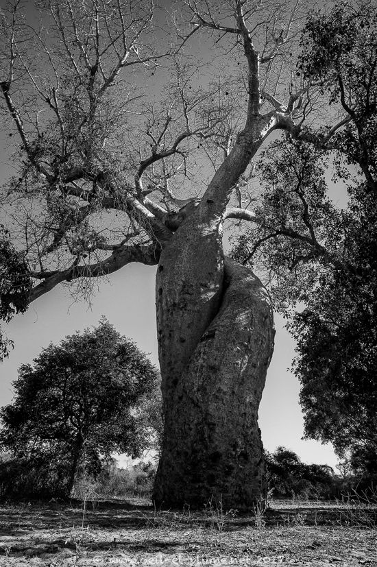 10 Baobabs 2017
