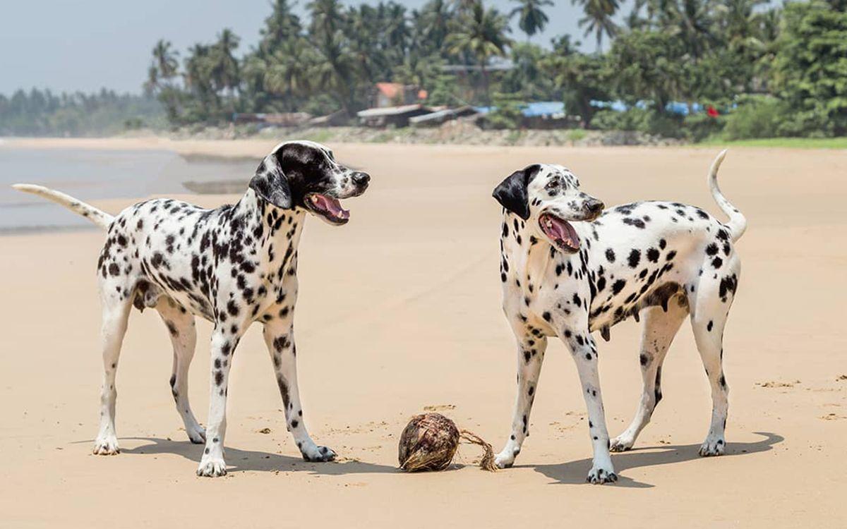 2 Dalmatien jouant sur la plage avec une noix de coco