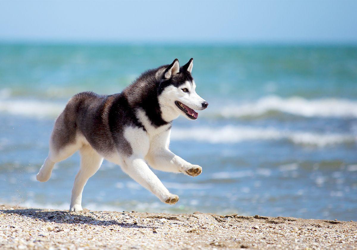 Husky courant au bord de la mer