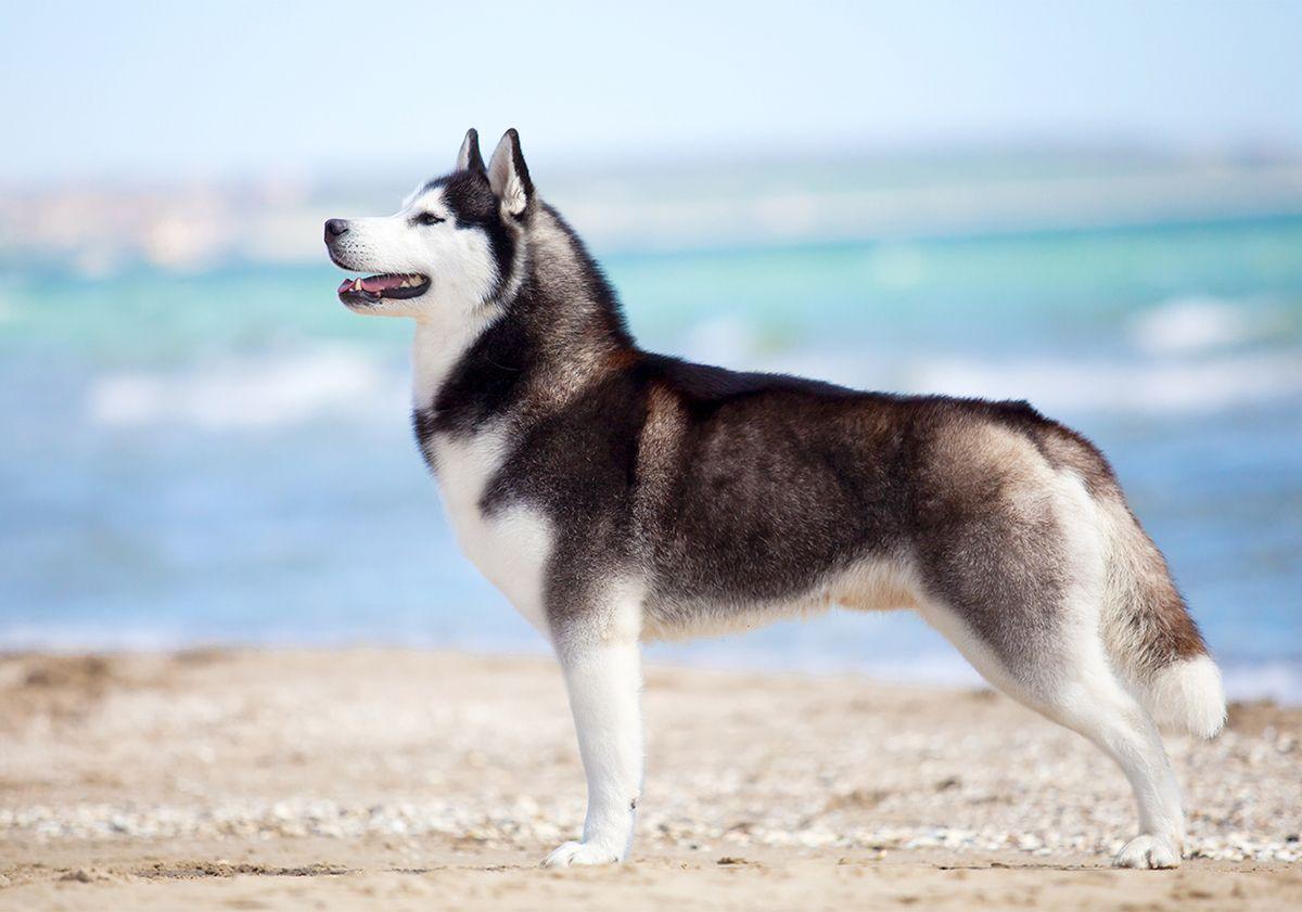 Husky, de profil, au bord de la mer