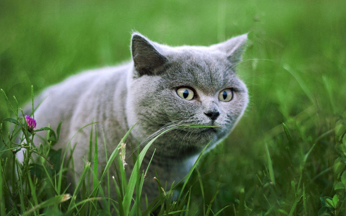 Un chat gris est concentré dans de hautes herbes, en pleine nature