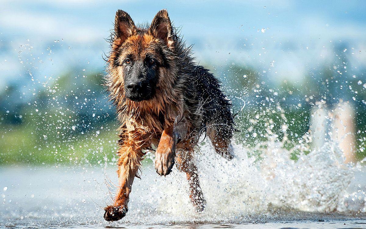 Un Berger Allemand court dans l'eau