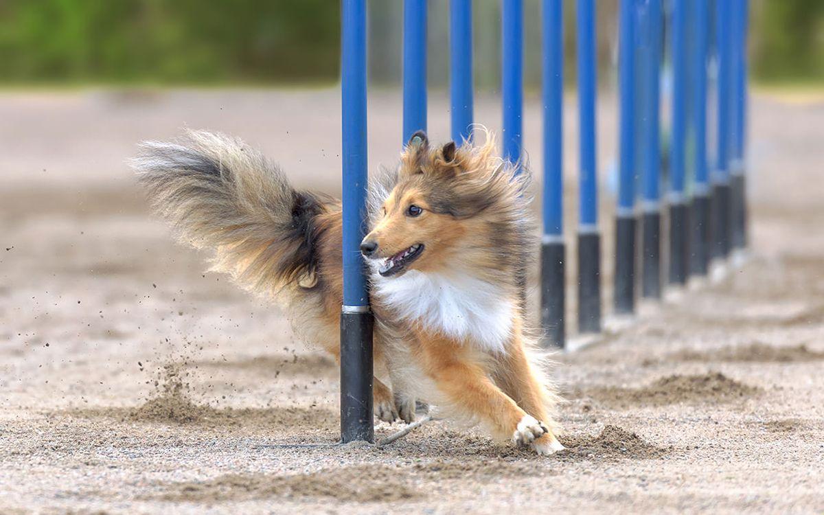 Un chien pratiquant de l'Agility