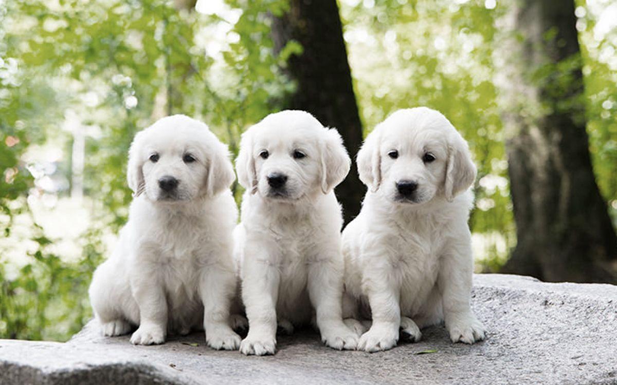 3 chiots blancs dans une forêt